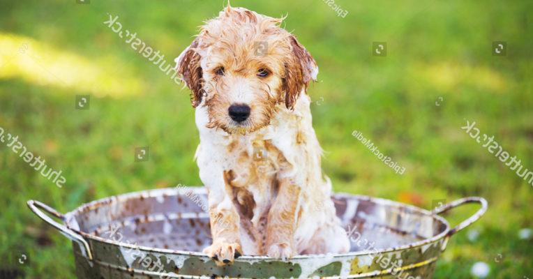 Tại sao nên sử dụng dịch vụ tắm cho chó từ khi còn nhỏ?